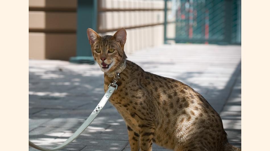 Las razas de gato más caras del mundo