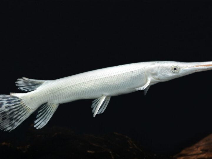 Los tres peces más caros del mundo